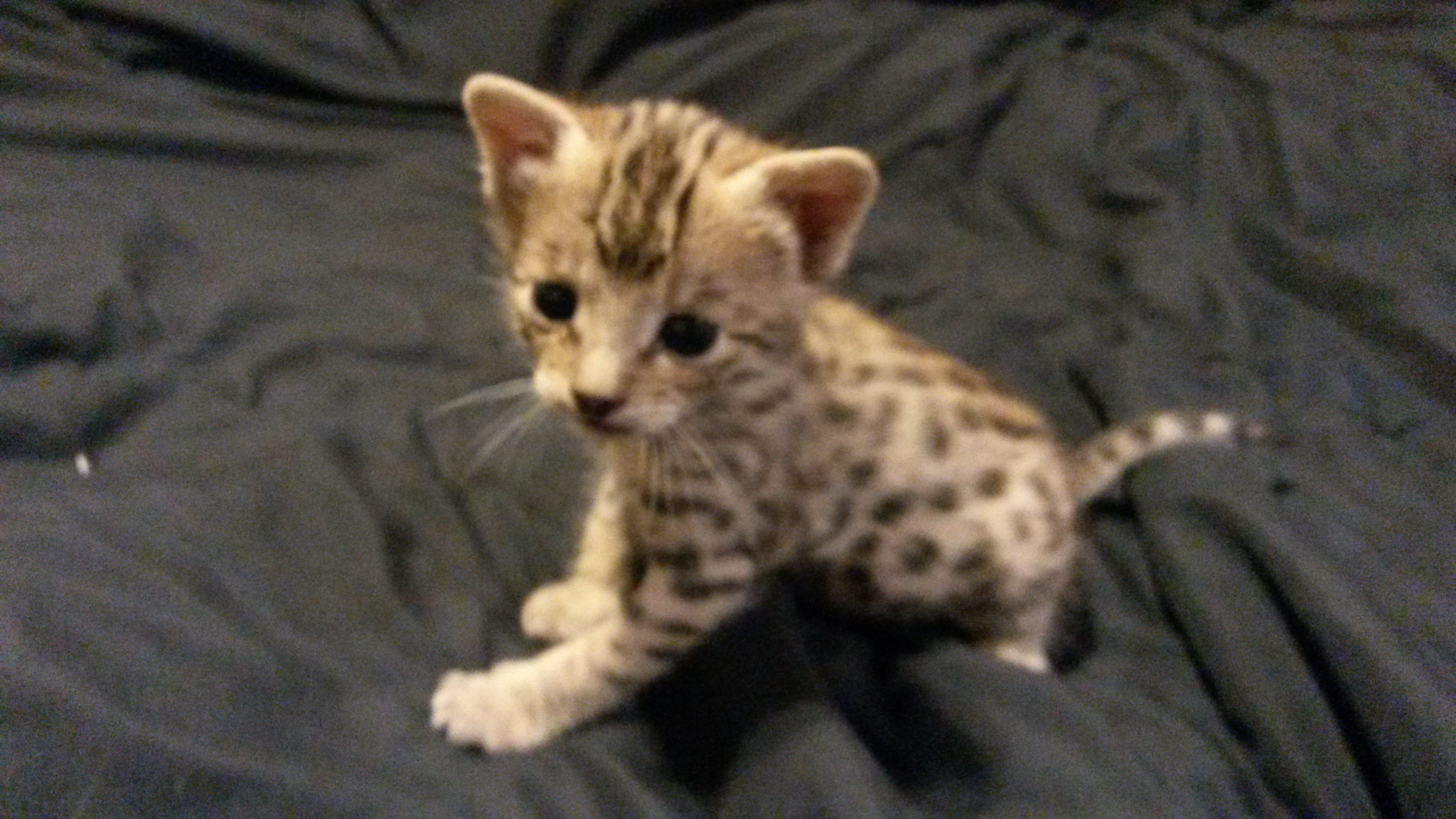 Bengal cats for sale durban